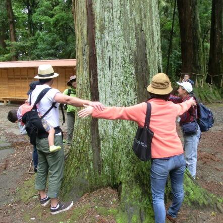 三島の大杉2
