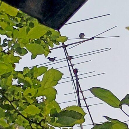 巣立ち ヒヨドリ
